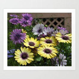 Yellow and Purple African Daisies Art Print