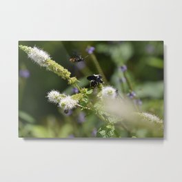 Extra Extra!! Scolia dubia a.k.a The Blue Winged Wasp Returns With Back up! Metal Print