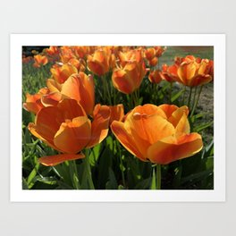 Spring - Orange Tulips Art Print