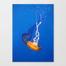 Chrysaora Canvas Print