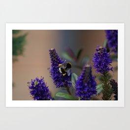 Bee Lavender - Bumble Bee in Garden Art Print