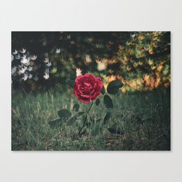 Single Red Rose In A Grassy Field With Bokeh Maple Leaves In The Background Canvas Print