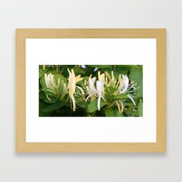 Closeup shot of Lonicera European Honeysuckle Flower Framed Art Print