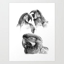 Macaw study SK0114 Art Print