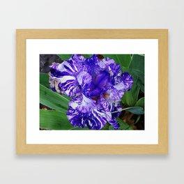 Bearded Blue Iris Framed Art Print