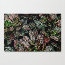 Pink Spray Canvas Print