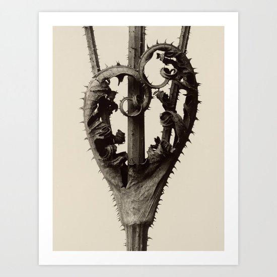 Karl Blossfeldt - Dipsacus laciniatus by fineearthprints