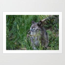 Wolf in Calgary Zoo Art Print