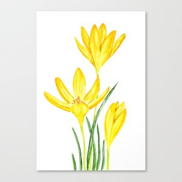 yellow botanical crocus watercolor Canvas Print