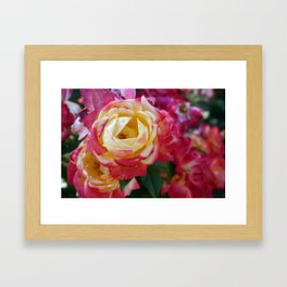 Pink and Yellow Roses Framed Art Print