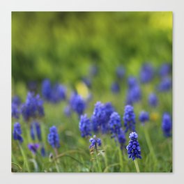 Grape Hyacinth in Spring Canvas Print