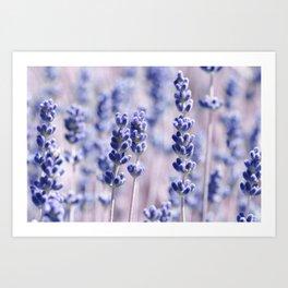 Lavender 0158 Art Print