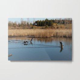 geese skidding across river water animal landscape Metal Print