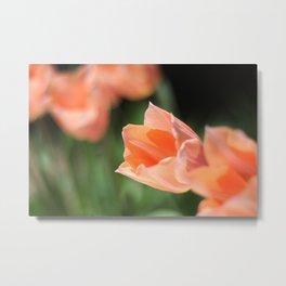 tulips in spring Metal Print