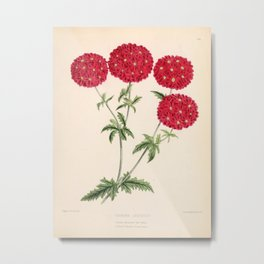 Verbena Lustrous Vintage Floral Flower Hand Drawn Scientific Illustration Metal Print