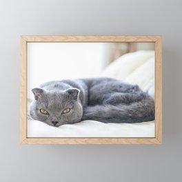 Beautiful Scottish Fold cat curled up on bed Framed Mini Art Print