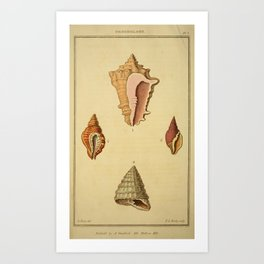 Vintage Print - Arcana or The Museum of Natural History (1811) - Conchology / Shells Art Print