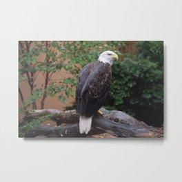 National Aviary - Pittsburgh - Bald Eagle 5 Metal Print
