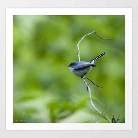 blue/gray gnatcatcher Art Print
