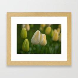 Tender Yellow Tulips in Spring in Keukenhof Framed Art Print