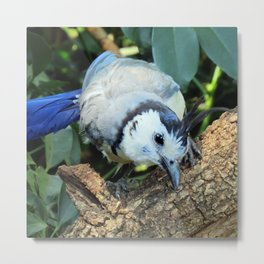 Blue Jay bird Metal Print