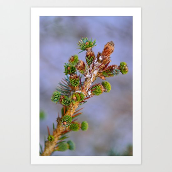 Fir In The Snow Art Print