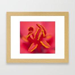 Stamens of a Jatropha Integerrima Framed Art Print