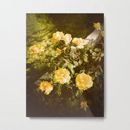 Yellow Rose Bush 120 in Sunshine  Metal Print