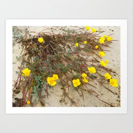 Wild California Beach Poppies Art Print