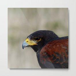 Harris Hawk Portrait Metal Print