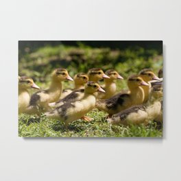 Yellow Muscovy duck ducklings running Metal Print
