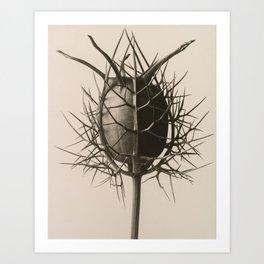 Karl Blossfeldt - Nigella Damascena Spinnenkopf Art Print