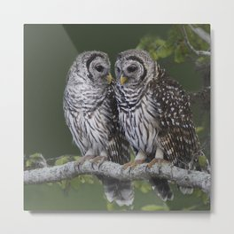 Barred Owls  Metal Print