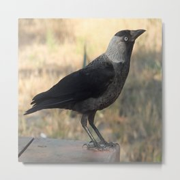 Side View Of A Wild Jackdaw Metal Print