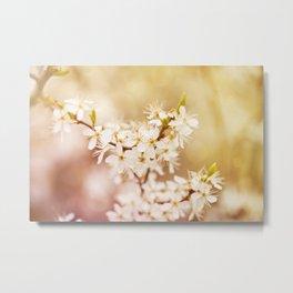 Blooming Cerasus cherry tree Metal Print