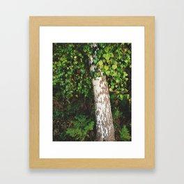 Silver Birch tree (Betula pendula). Norfolk, UK. Framed Art Print