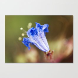 Desert Bluebell In Bloom Canvas Print