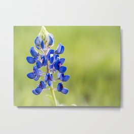 Bluebonnet Wildflowers Macro 1 Metal Print