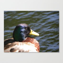 Blue Mallard  Canvas Print