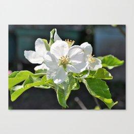 Apple tree in bloom Canvas Print