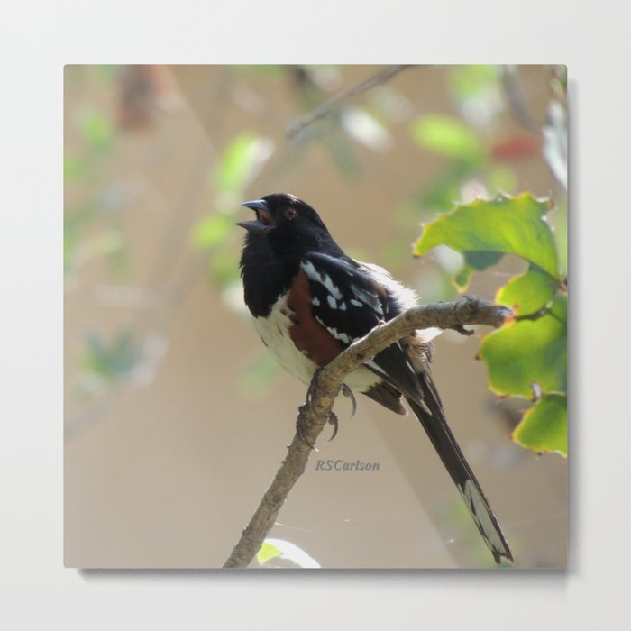 Spotted Towhee Scopes the Oak Grove Metal Print