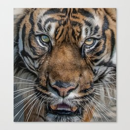 Tiger's Eyes Canvas Print