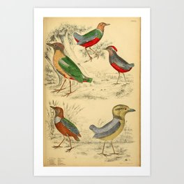 Giant Breve, Macklot's Breve, Noisy Breve, Grenadine Breve, Red-breasted Breve15 Art Print
