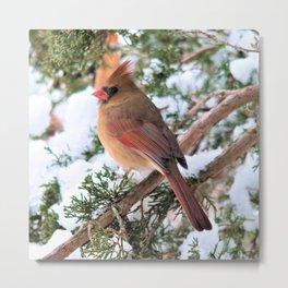Cardinal Sitting Pretty Metal Print