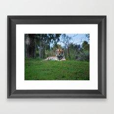 Tiger Staring Me Down - Safari Framed Art Print