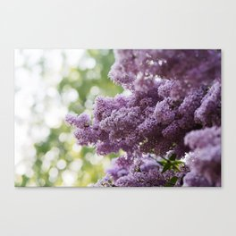 Violet Syringa vulgaris lila Canvas Print