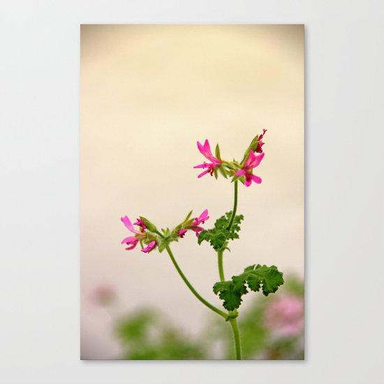 Geraniums (Pelargonium) #5 Canvas Print