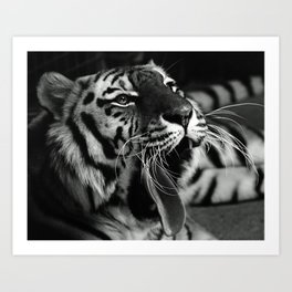 Sleepy Tiger Art Print