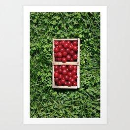 Harvesting Prunus cerasus sour cherrys fruit Art Print