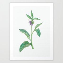 Comfrey Herb Art Print